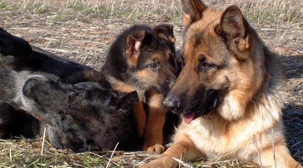 La Guardia Civil de Teruel ha rescatado a seis cachorros de pastor alemán
