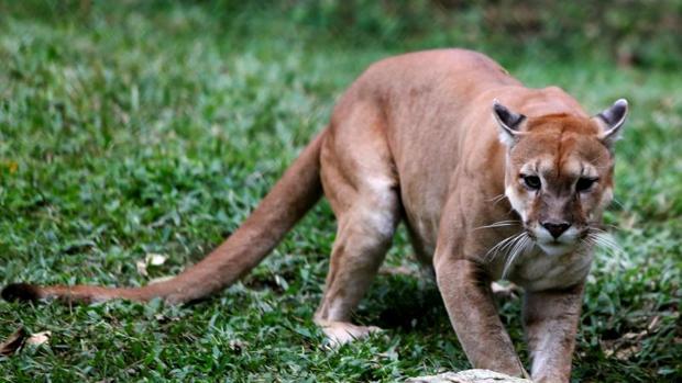 Imagen de un puma en el zoológico de Caricuao, Caracas