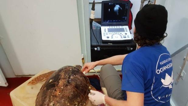 Descubren por qué sufren las tortugas marinas el mal del buceador