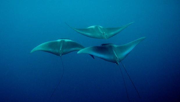 Las «rayas rinoceronte» son, ahora, los peces marinos más amenazados del mundo