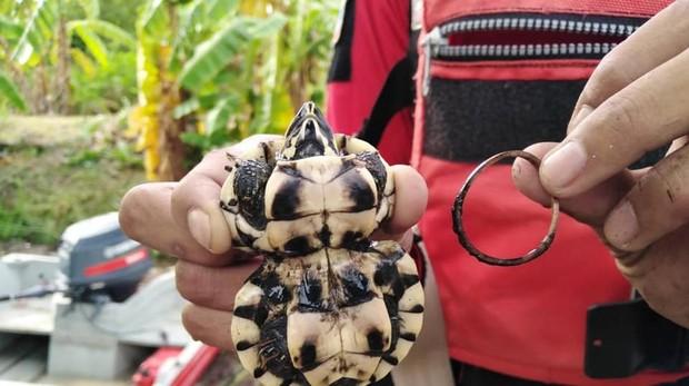 La tortuga hallada en Tailandia