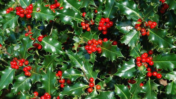 El olvidado origen de la tradición navideña del acebo