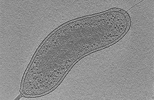 'Bdellovibrio bacteriovorus'