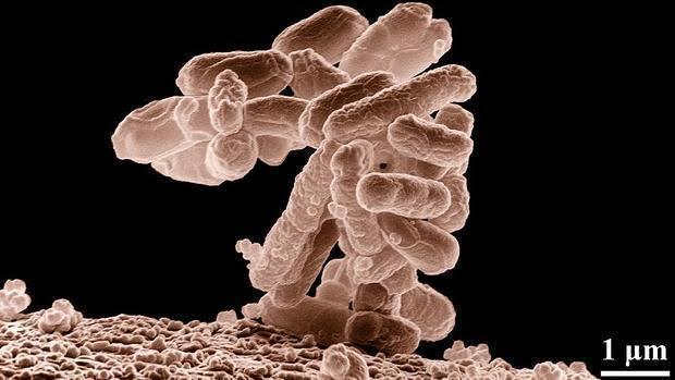 Bacterias de la flora intestinal