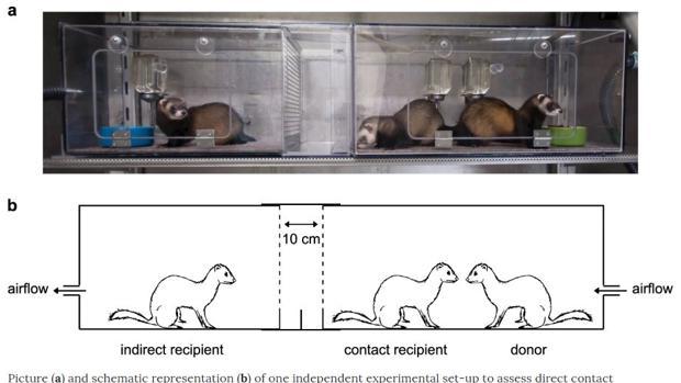 Un estudio con hurones prueba que el coronavirus se transmite por el aire