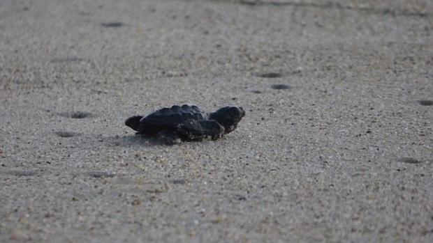 Imagen de una tortuga golfina recién nacida