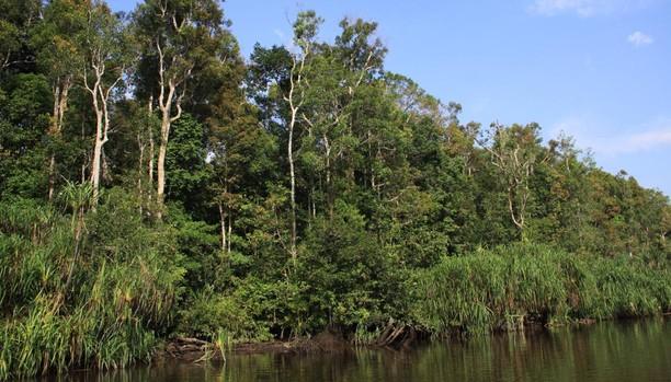 El Parque Nacional de Tanjung Puting, Reserva de la Biosfera con 6.000 orangutanes y miles de especies animales y vegetales en la isla de Borneo, está rodeado de plantaciones de aceite de palma