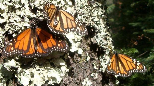 Mariposas monarca en Ciudad de México