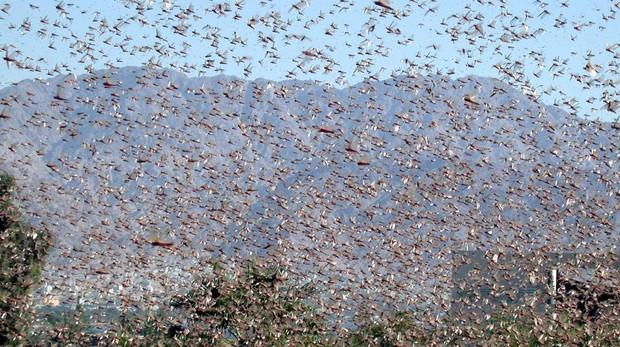 Imagen de archivo de una plaga de langostas