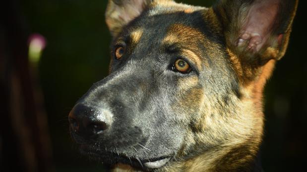 Detenido por maltratar a su perro con un objeto cortante y agredir a agentes...
