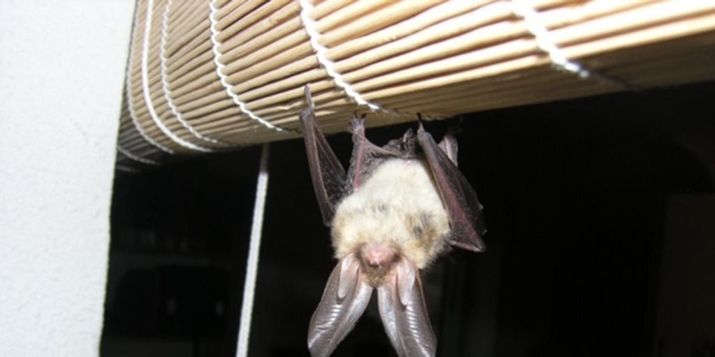 Image Detectan en murciélagos de Reino Unido un nuevo coronavirus relacionado con el que causa el Covid-19